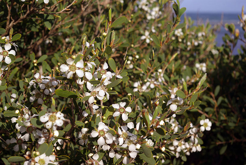 Archivo:Leptospermum laevigatum flowers and foliage.jpg