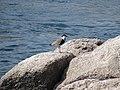 Les oiseaux d'Egypte - panoramio - youssef alam (15).jpg