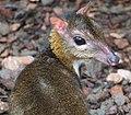 Lesser Mouse Deer (Tragulus Javanicus).jpg
