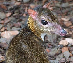 A lesser mouse-deer in a Spanish zoo