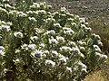 Leucadendron männliche Blüte.JPG