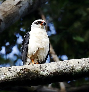 Black-faced hawk species of bird
