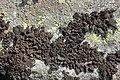 Lichen (30639469998).jpg