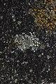 Lichen (35463922125).jpg