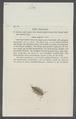 Ligia melanocephala - - Print - Iconographia Zoologica - Special Collections University of Amsterdam - UBAINV0274 098 08 0007.tif