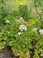 Ligusticum scoticum - Flickr - peganum.jpg