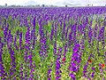 Lilac flowers near Shahrekord 2.jpg
