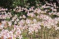 Lilies in bloom at Allerton (14775262409).jpg