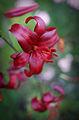 Lilium-'Red-Velvet'.jpg