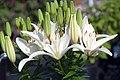 Lilium asiatic Reinesse 0zz.jpg