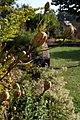 Lilium superbum 8zz.jpg