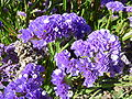 Limonium sinatum 'Midnight Blue' (Plumbagnaceae) flower.JPG