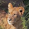 Lion (Panthera leo) cub head Chobe.jpg