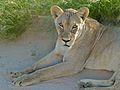 Lioness (Panthera leo) (6875288040).jpg
