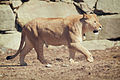 Lioness Walking Across (17386580630).jpg