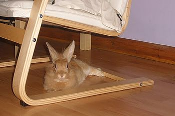 English: Relaxed rabbit