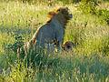 Lions (Panthera leo) mating (13974154593).jpg