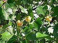 Liriodendron tulipifera11.jpg