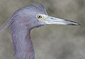 Little-blue-heron-1b.jpg