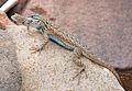 Lizard(s) (6086943834).jpg