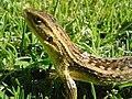 Lizard-santiago-2009-17-01.JPG