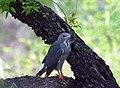 Lizard buzzard (38130337692).jpg