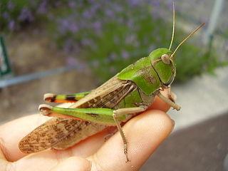 <i>Locusta migratoria manilensis</i>