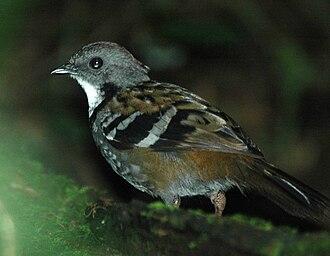 Orthonychidae - Male Australian logrunner