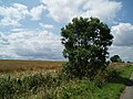 Lone bush and wheat field - geograph.org.uk - 494321.jpg
