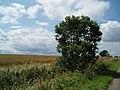 Lone bush and wheat field - geograph.org.uk - 494321.jpg