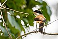 Long-tailed shrike (Lanius schach) 07.jpg