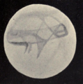Lowell - Mars (1896) - Plate 21 Figure 4.png