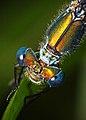 Lukjonis - Damselfly - Lestes sponsa (by).jpg