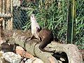 Lutrogale perspicillata in La Bourbansais Zoo 02.JPG