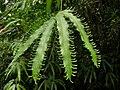 Lygodium heterodoxum Costa Rica.jpg