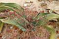 Männliche Welwitschia.JPG