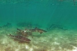MBNMS -- La Jolla Leopard Sharks (36327877766).jpg