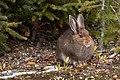 MK04604 Snowshoe Hare (Banff).jpg