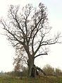 MOs810, WG 2014 66 Puszcza Notecka west (Quercus robur, Lipki Male, monument (2).JPG