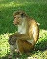 Macaque à toque - Mâle.JPG