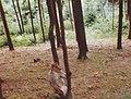 Macaque de Gibraltar (Macaca sylvanus) (08).jpg