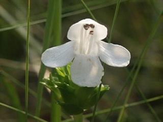 <i>Macbridea alba</i> species of plant