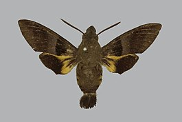 Macroglossum vidua BMNHE813509 male up.jpg
