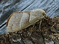 Macrothylacia rubi ♀ - Fox moth (female) - Коконопряд малинный (самка) (39195121620).jpg