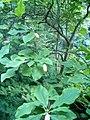 Magnolia tripetala BotGardBln07122011C.JPG