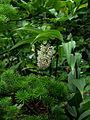 Maianthemum aff. flexuosum BSWJ 9026 - Flickr - peganum.jpg