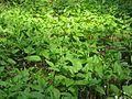 Maianthemum bifolium 5811.jpg