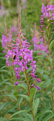 Fireweed, leaves