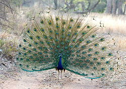 Male Peacock in courtship display at Ranthambhore Tiger Reserve.jpg