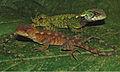 Male and female of Enyalioides azulae - ZooKeys-277-069-g002.jpg